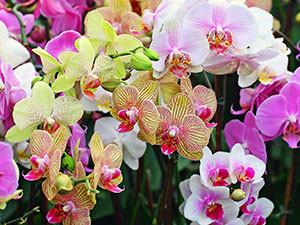 phalaenopsis0